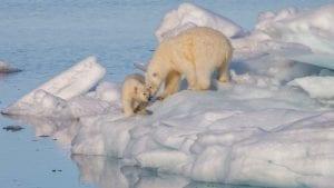 Hvor er isbjørnene ?