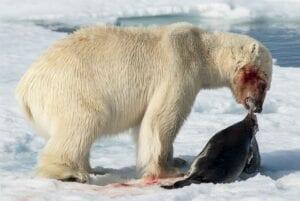 Isbjørnene trives